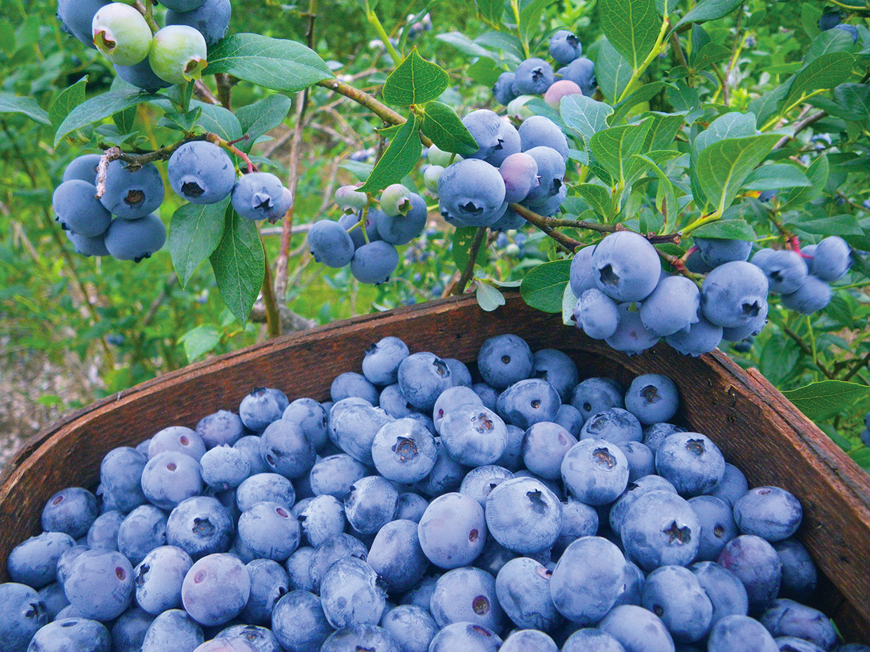 Third Annual Quonquont Farm Blueberry Festival 2020